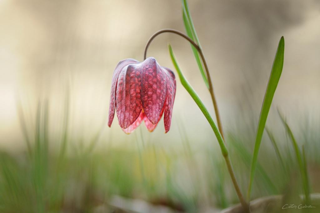 Floralis calingabor.ro 5