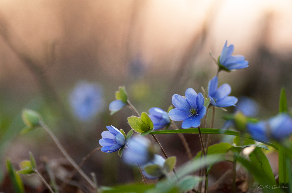 Floralis calingabor.ro 4