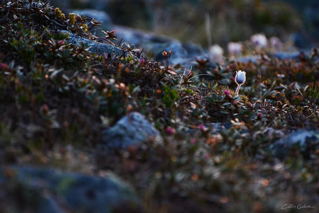 Floralis calingabor.ro 12