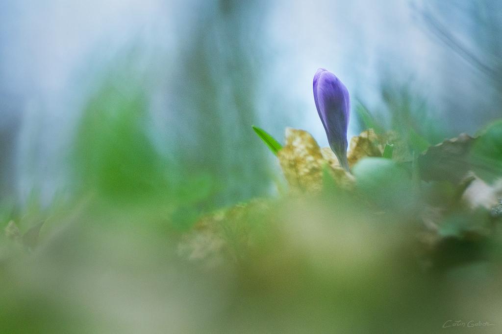 Floralis calingabor.ro 1