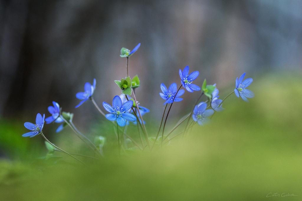 Floralis calingabor.ro 2